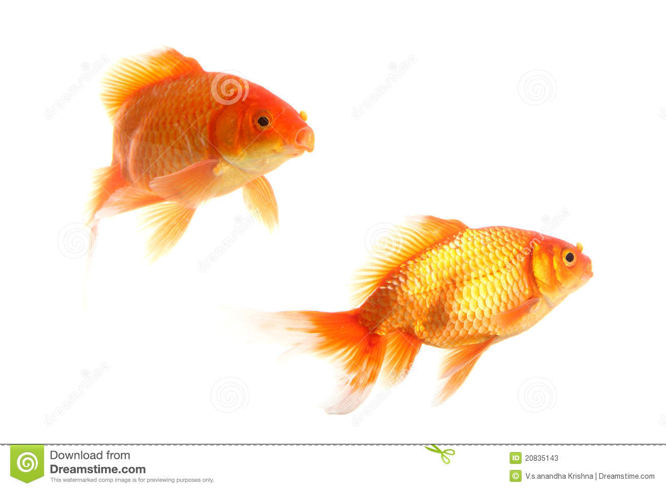 Gold Fishes Photos Gold fishes