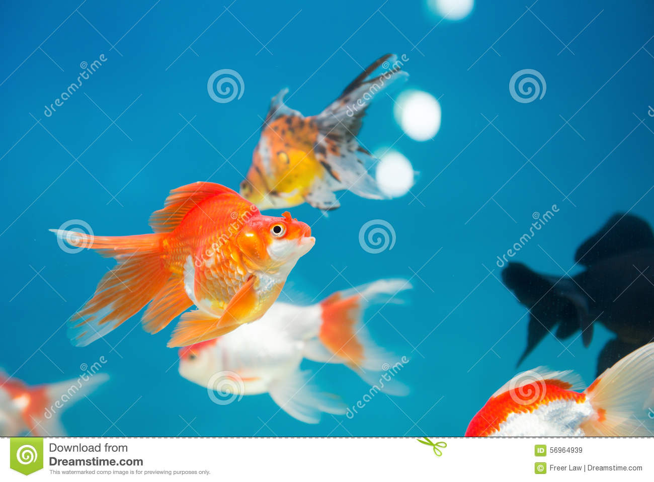 Gold fishes swimming royalty free stock photo for Dream of fish swimming