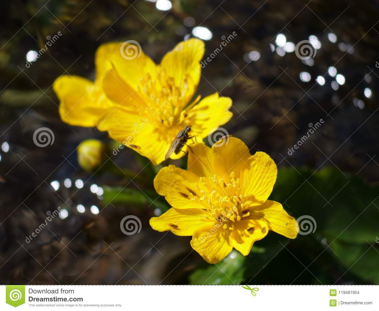 Gold Flower Stock Photo Image Of Yellow Mountain Gold 119481954