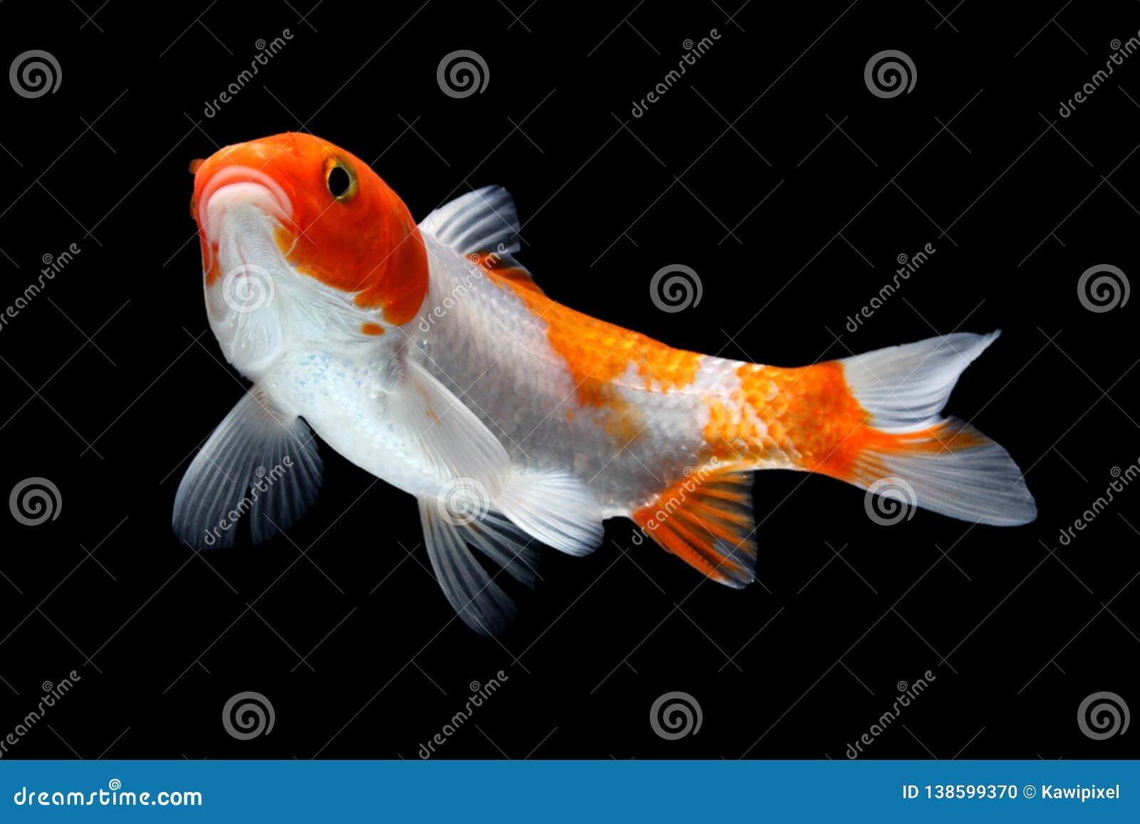 Gold-Koi-Fische lokalisiert auf schwarzem Hintergrund