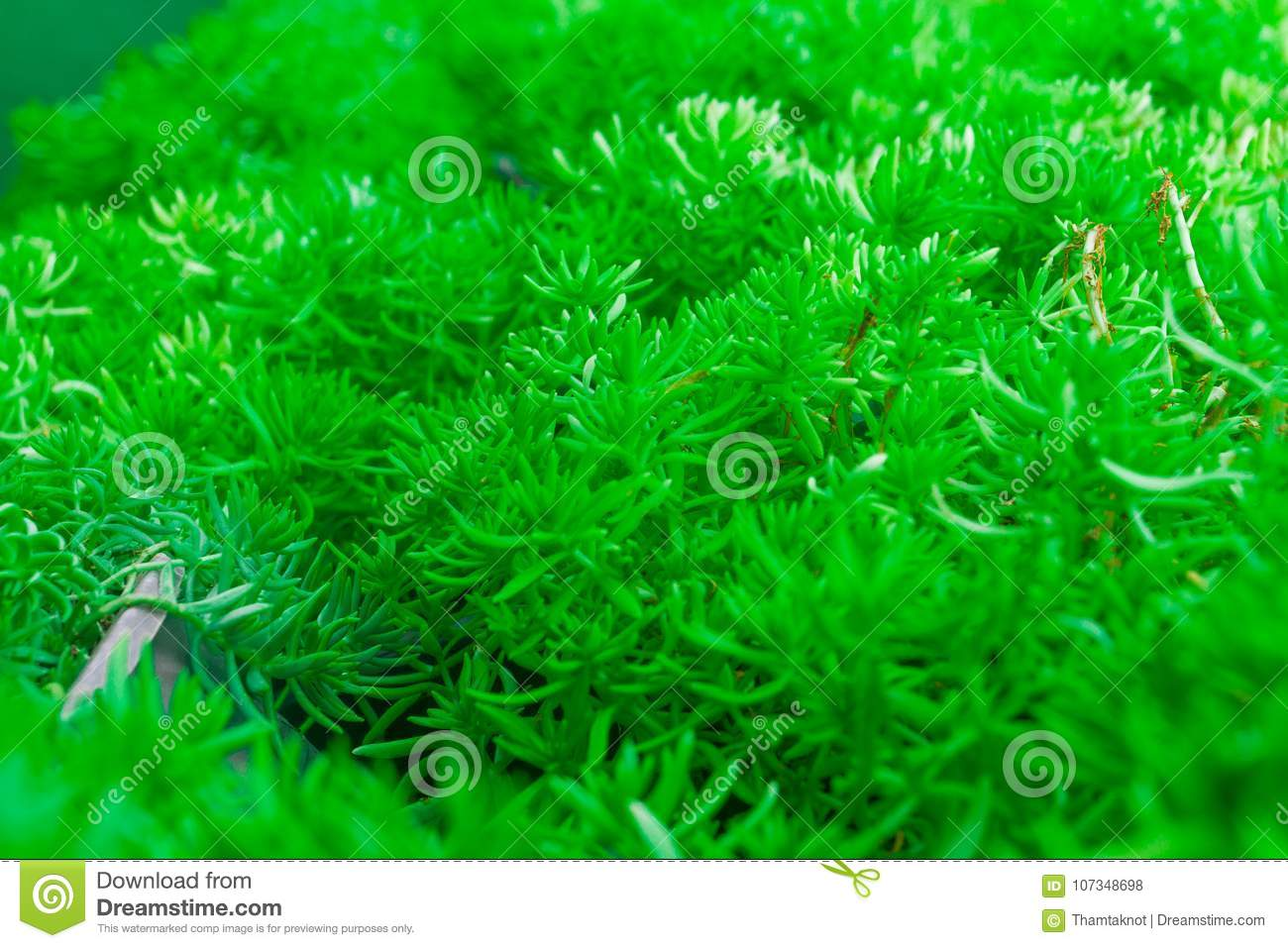 Gold Moss Found Naturally with Wetlands, Which As the Background ...