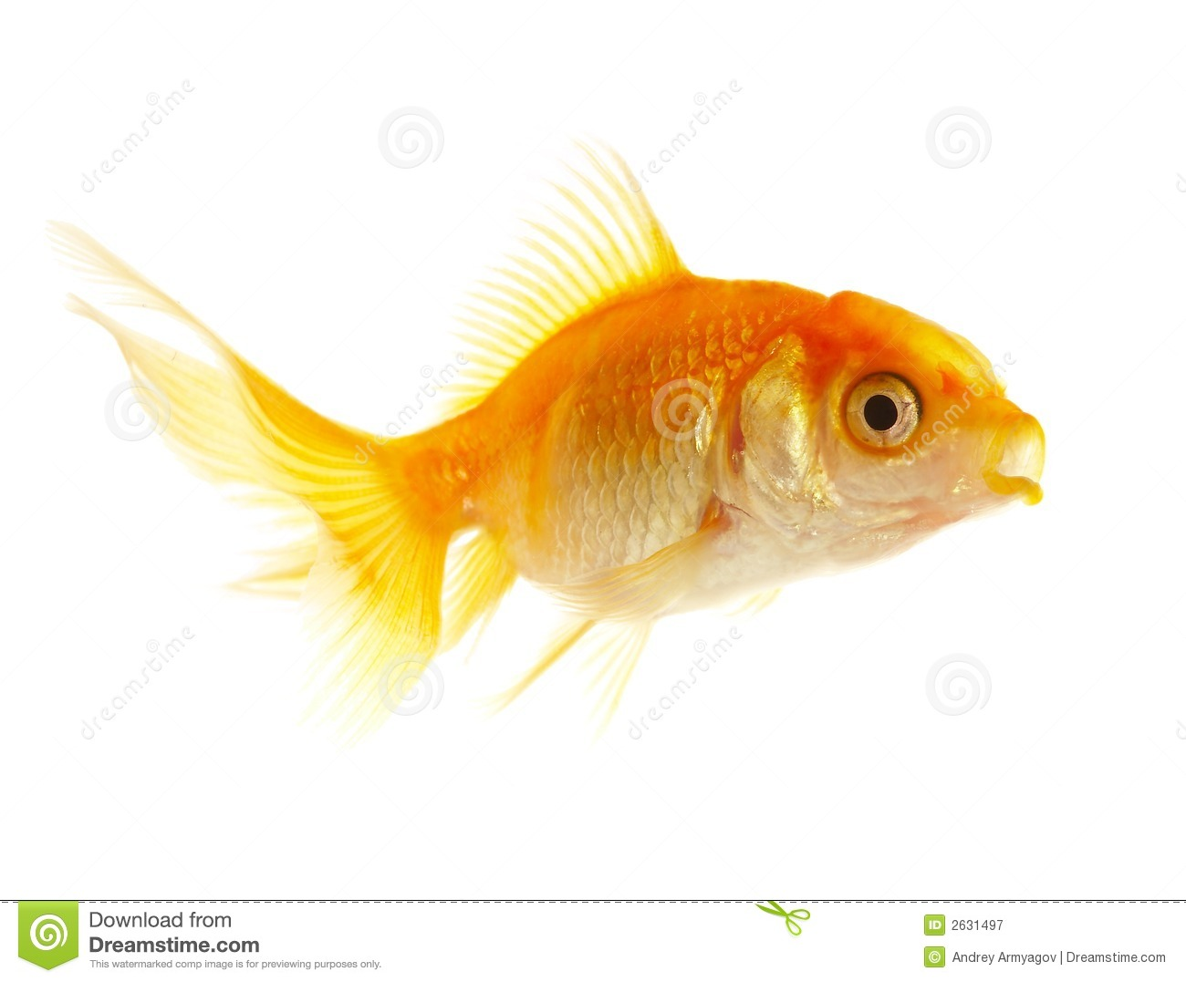 Gold small fish stock image image of large looking for Image of fish