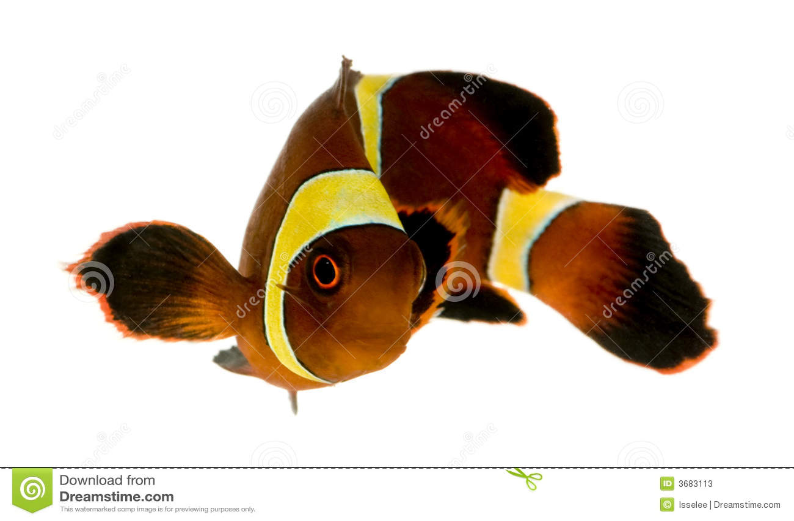 Gold Stripe Maroon Clownfish - Premnas Biaculeatus Stock
