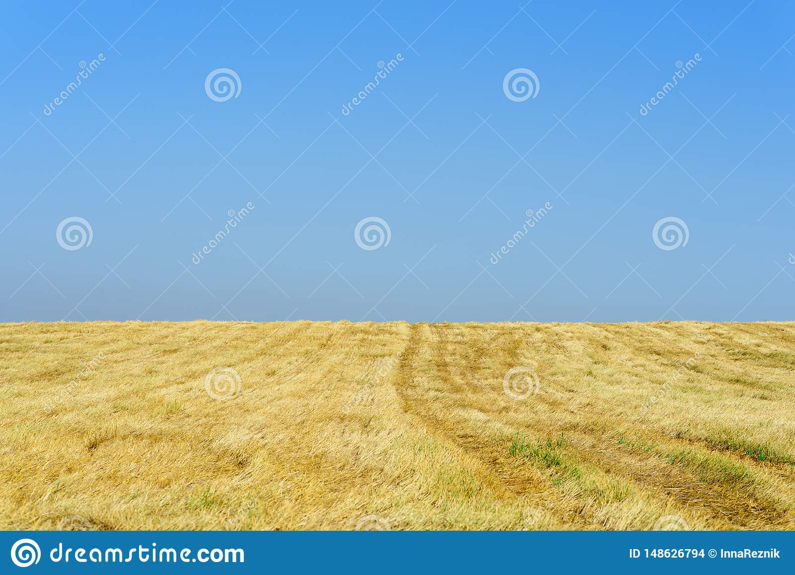 Gold wheat fields after harvest and blue sky in sunny day.