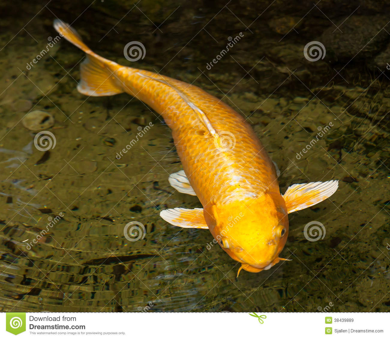 Gold and white ogon koi cyprinus carpio swimming at the for Golden ornamental pond fish crossword