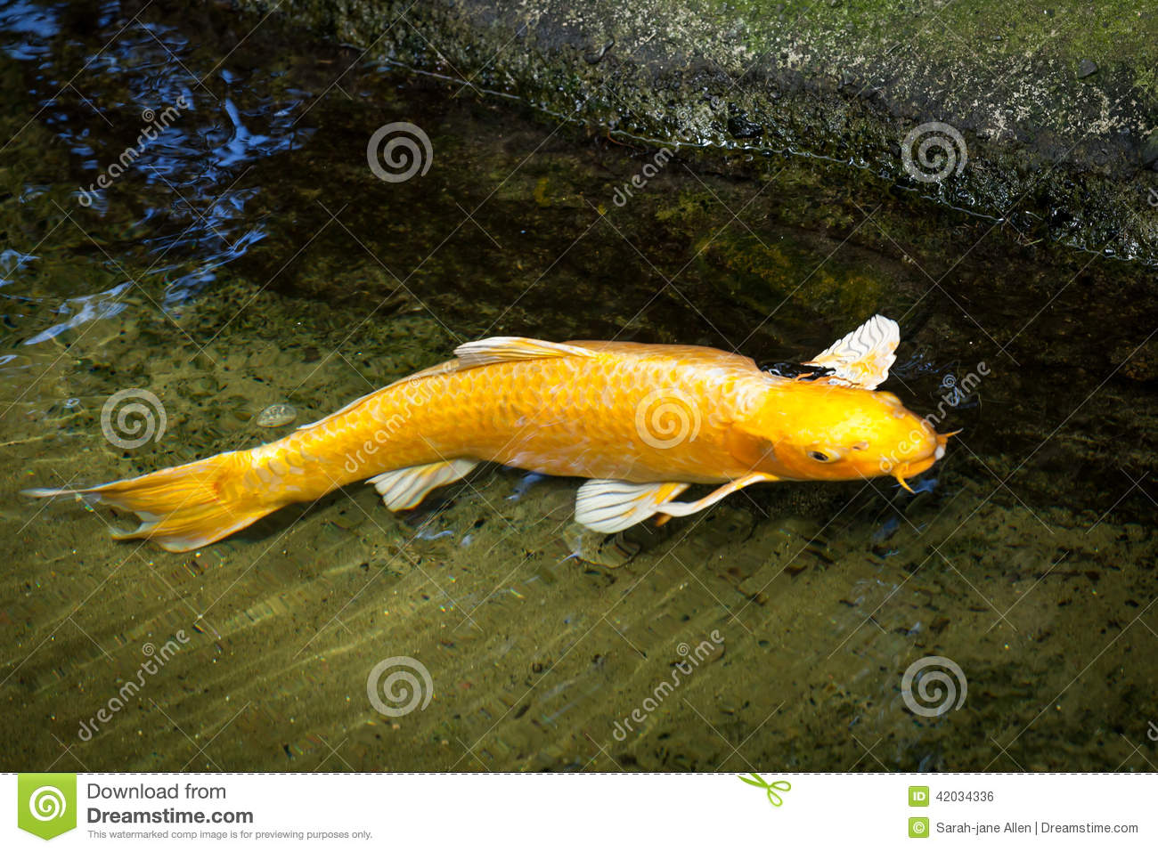 Gold and white ogon koi swimming at edge of pond stock for Golden ornamental pond fish crossword