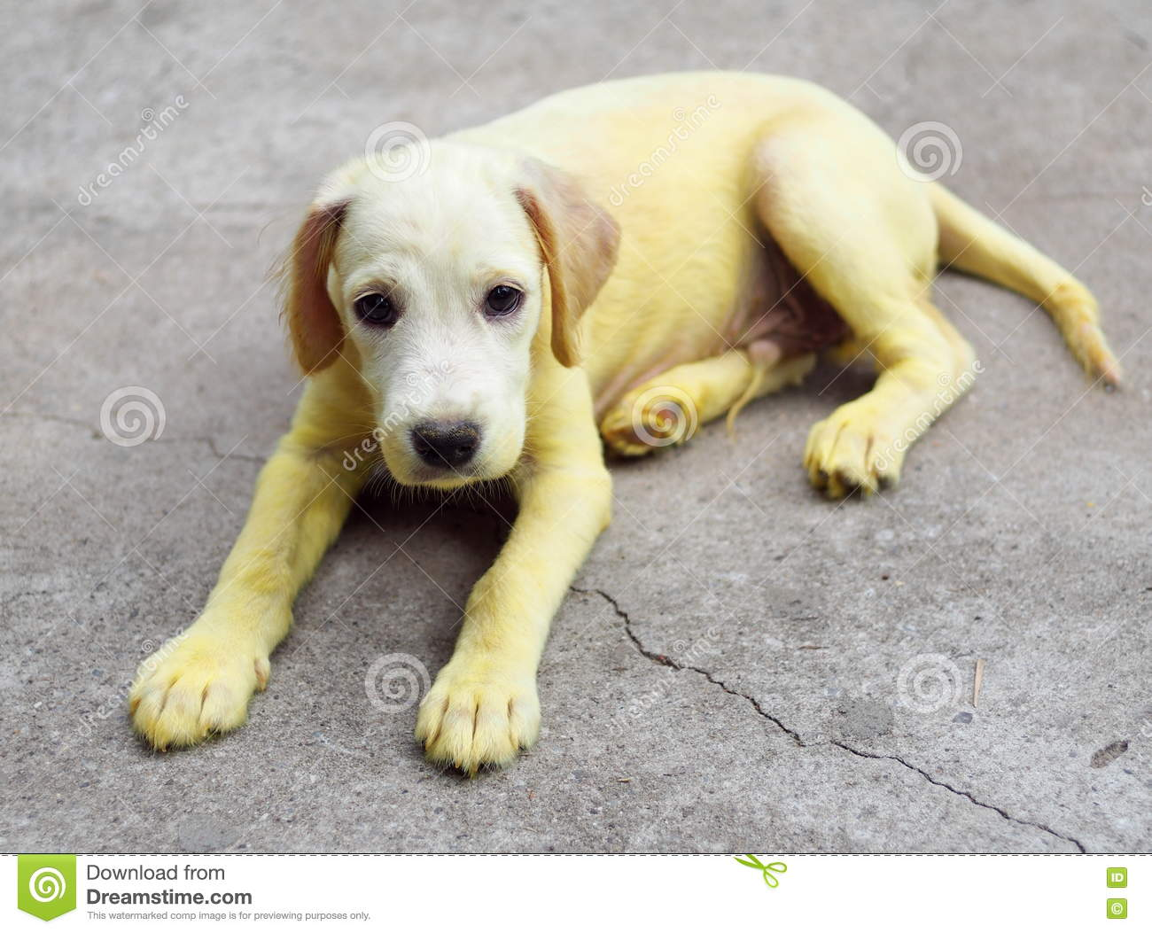 Gold Yellow Color Little Cute Long Hair Puppy Dog With