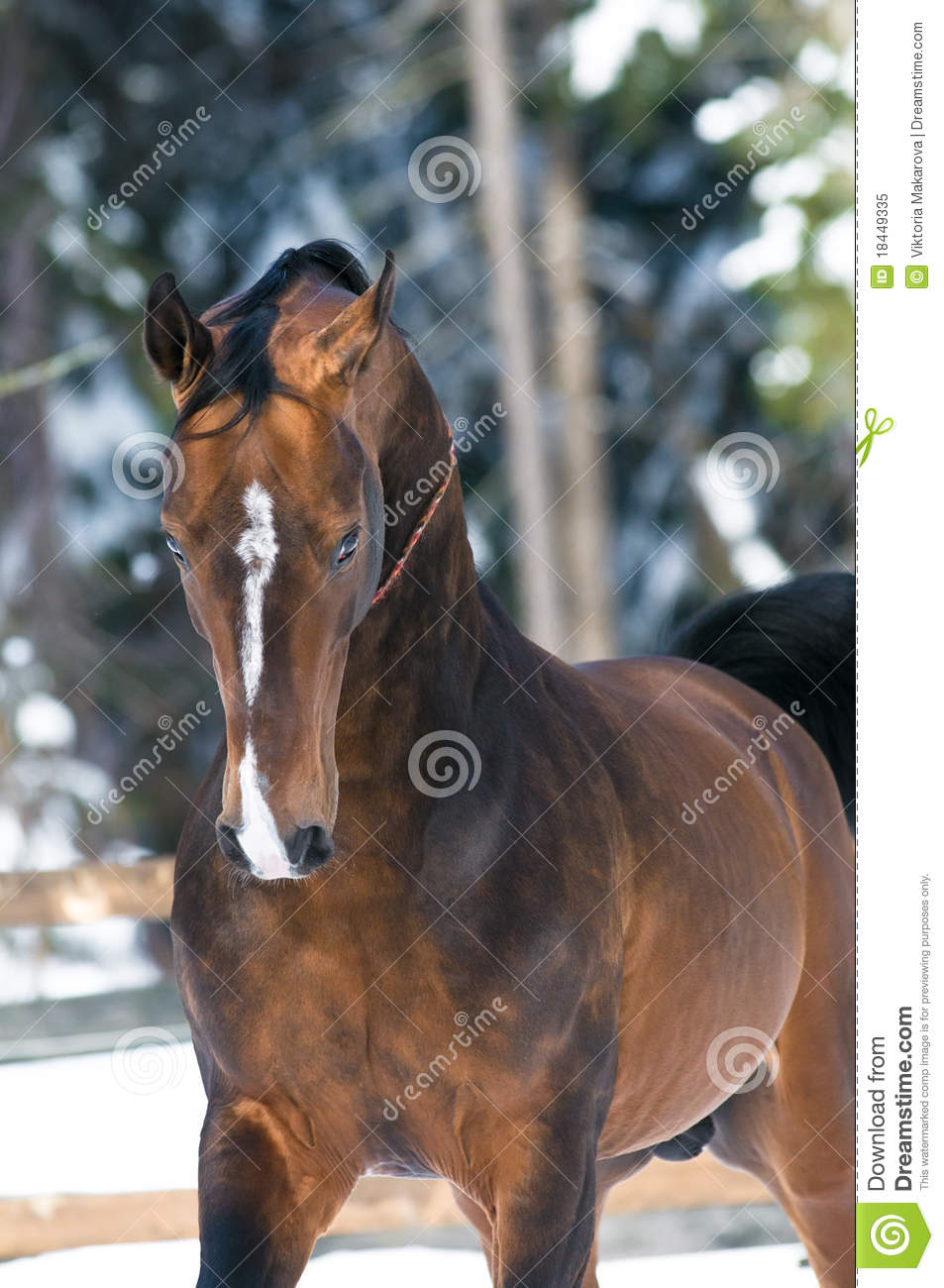Golden Akhal-teke horse portrait in winter