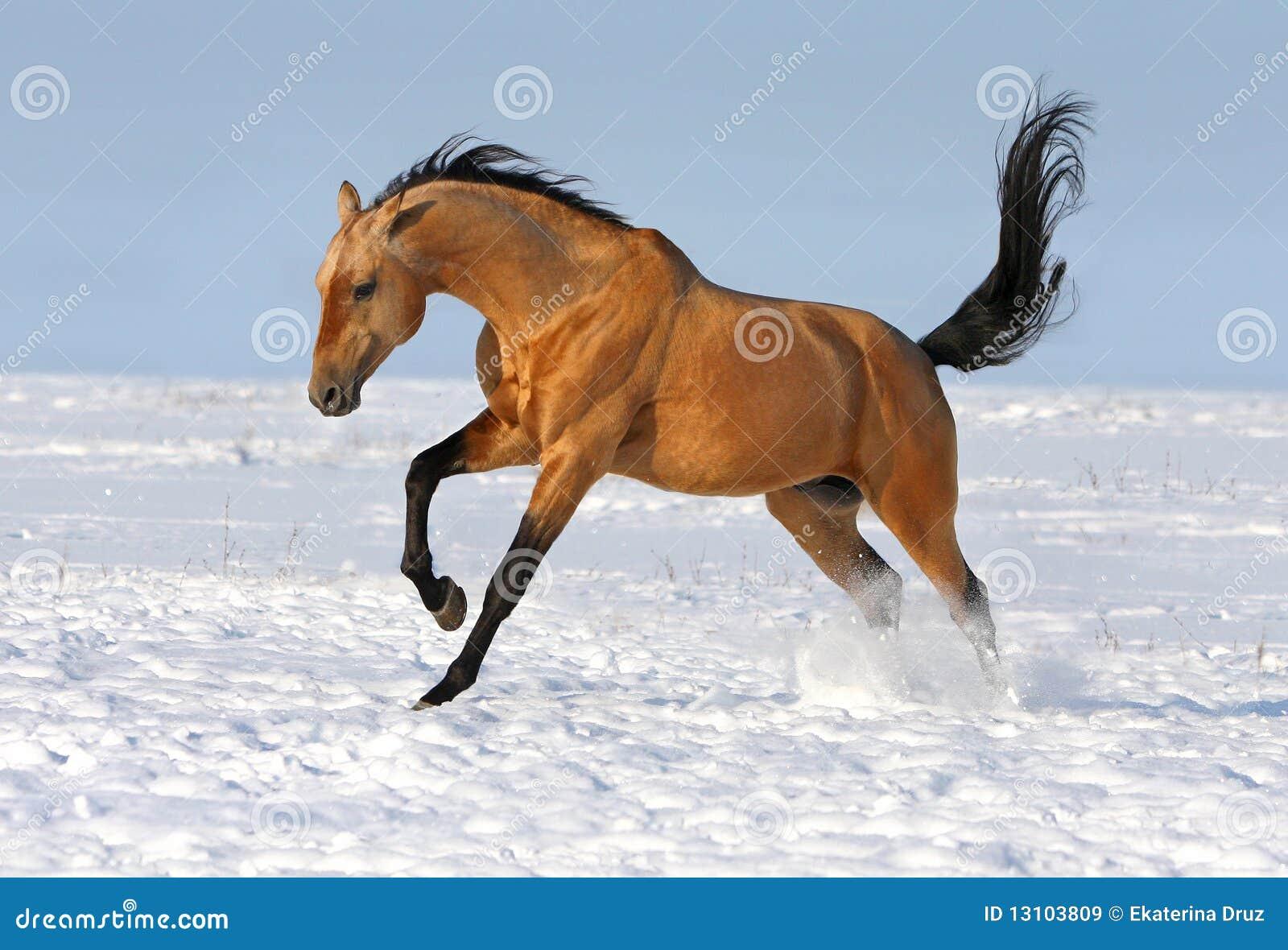 Golden Akhalteke Stallion Running Stock Image Image Of Horse Black 13103809