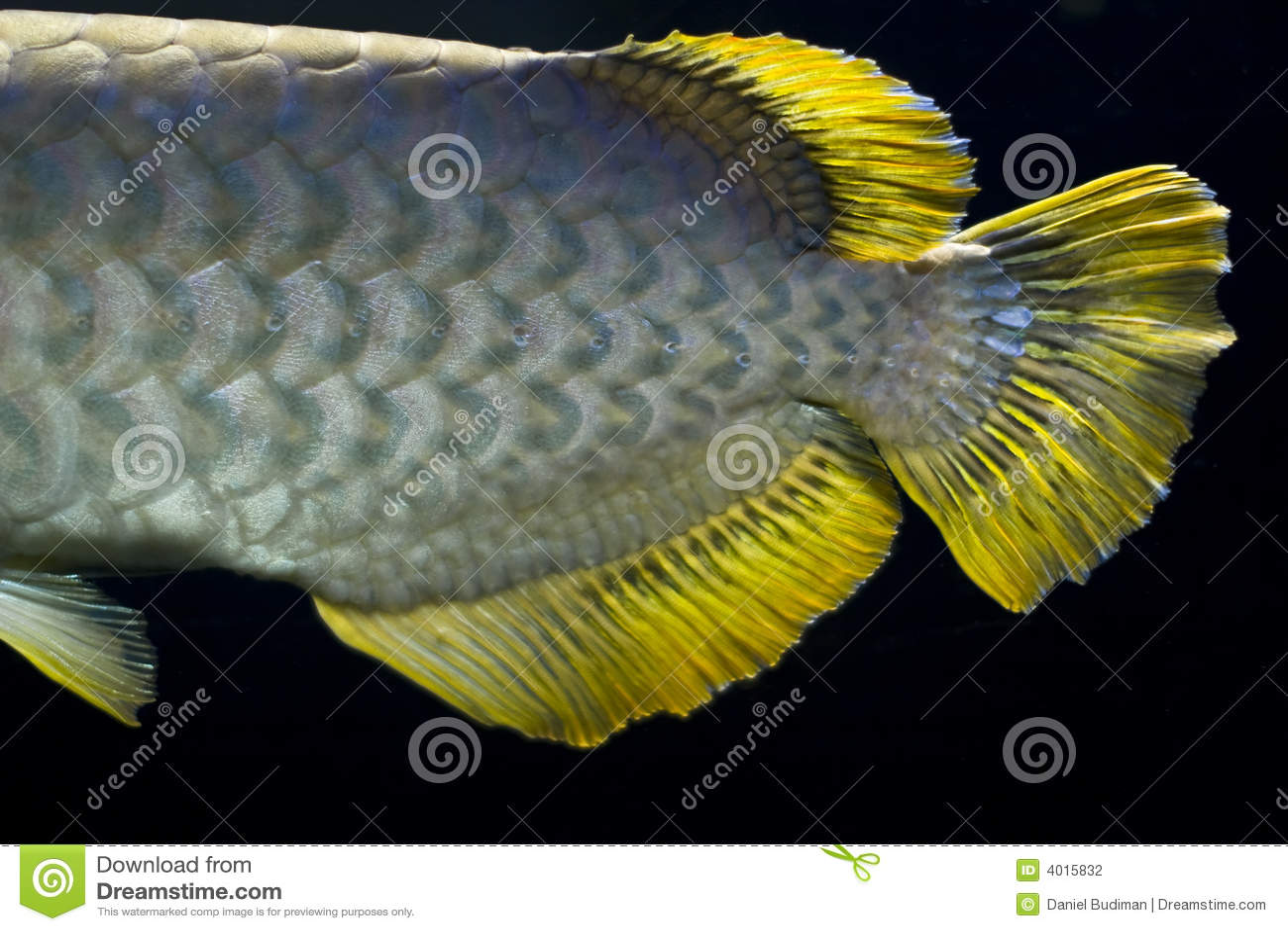 Golden arowana tail close up stock photography image for Arowana fish tank decoration