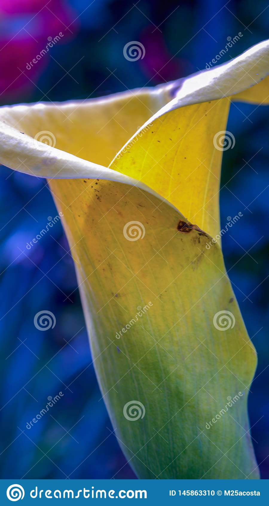 Golden arum flower from the side