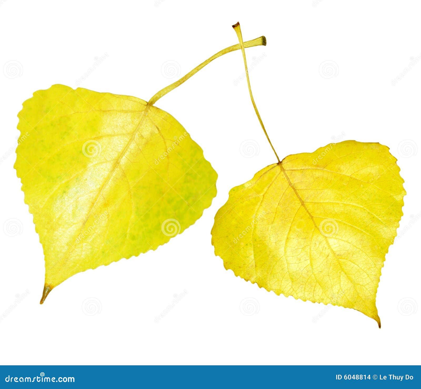 Golden aspen leaf