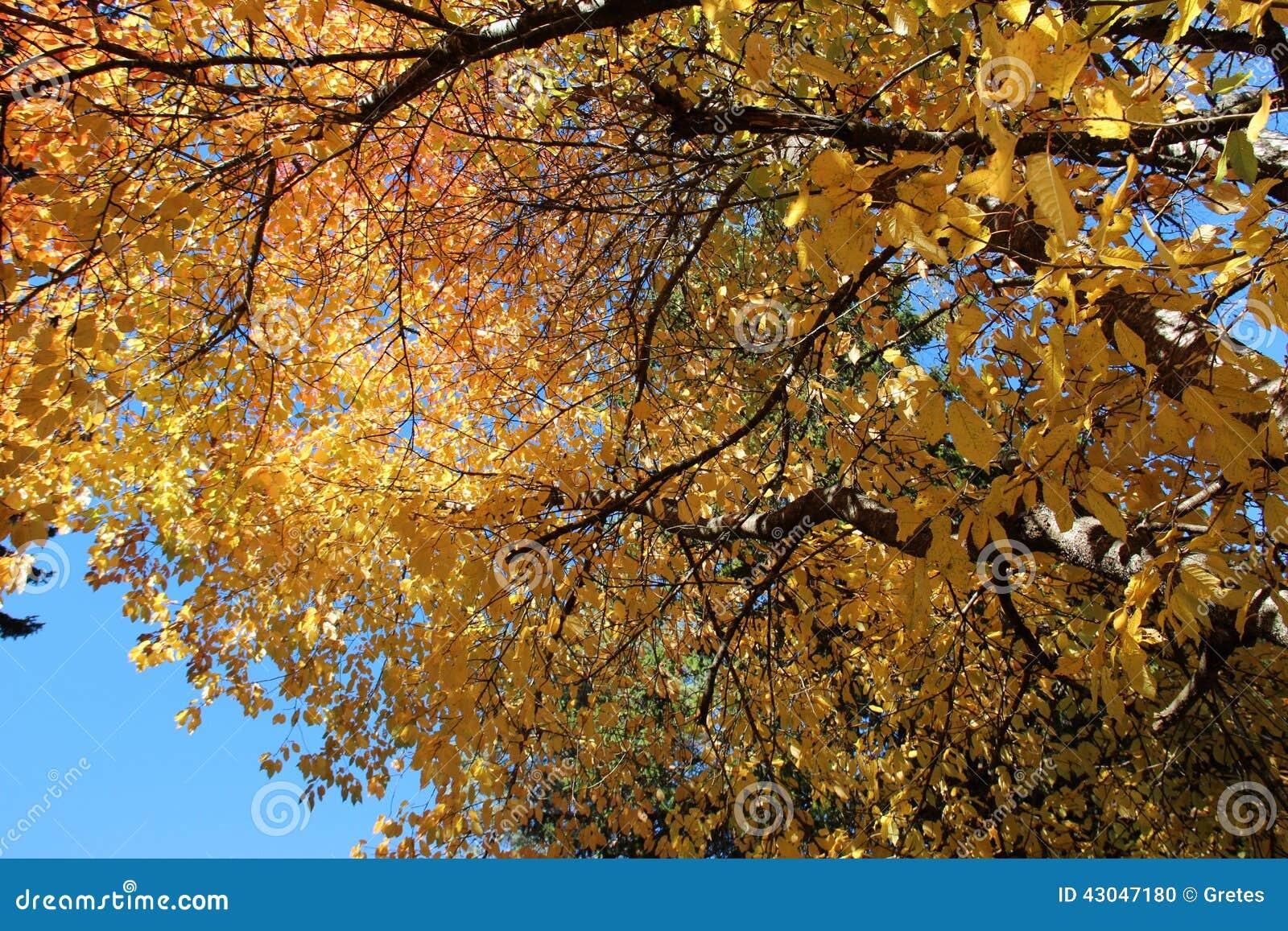Golden autumn maple tree and sunburst