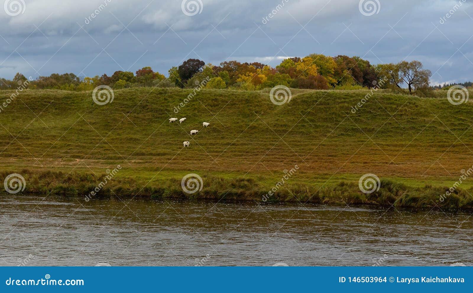 Golden autumn, nature, river, sheep, rain