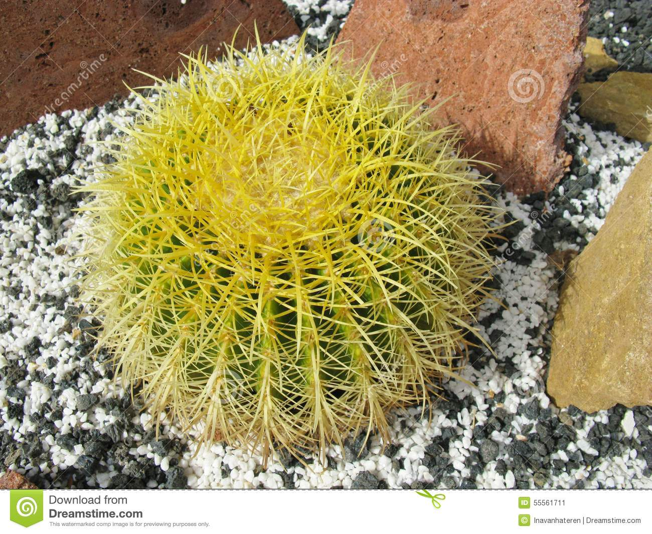 The Golden ball or barrel cactus
