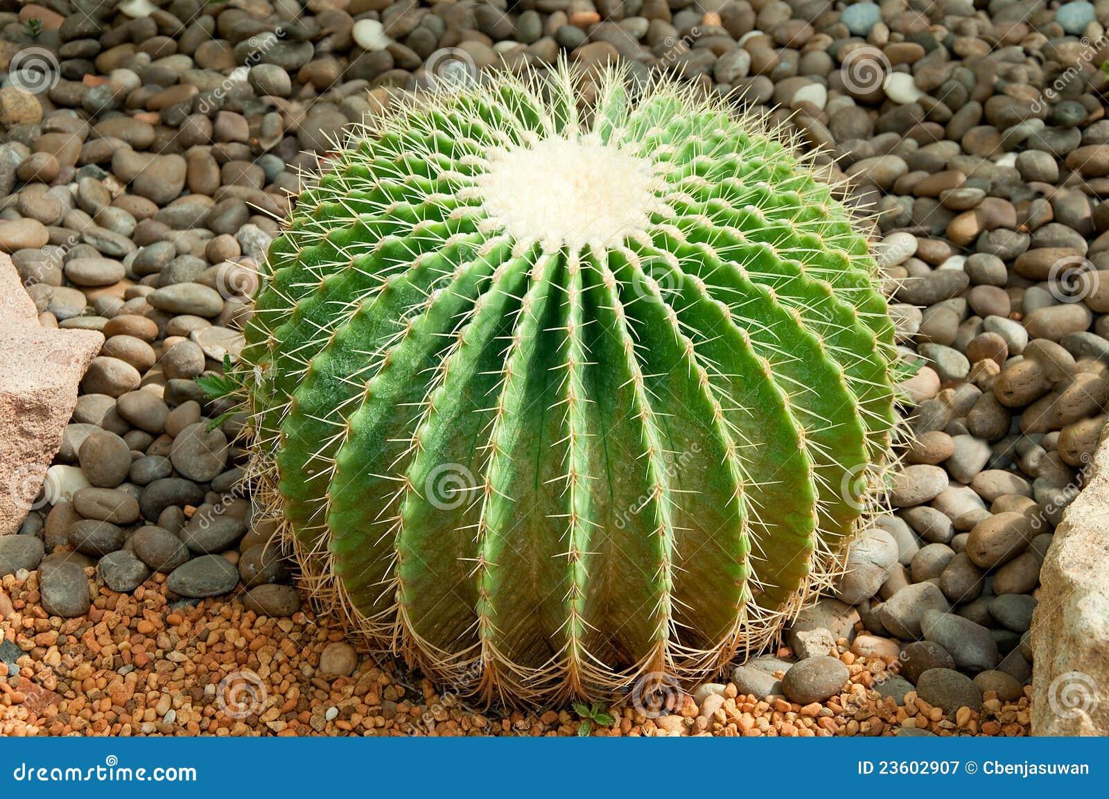 The Golden ball cactus