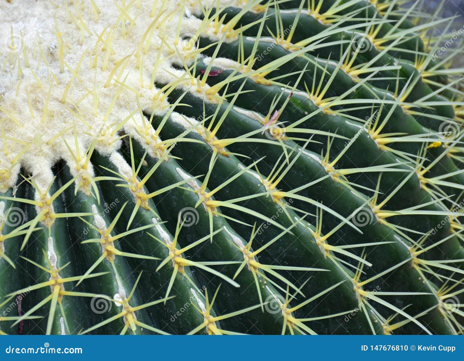 Golden Barrel Cactus in the Desert