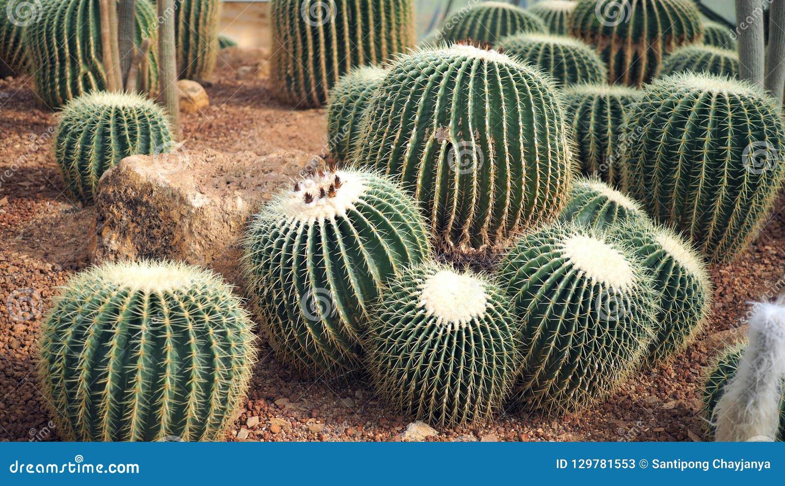 Golden barrel cactus or Echinocactus grusonii in the botanic garden. Close up of a round green cactaceae with spikes. Echinocactu