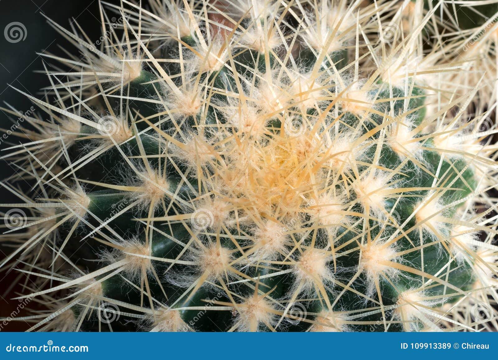 Golden barrel cactus or echinocactus grusonii close-up