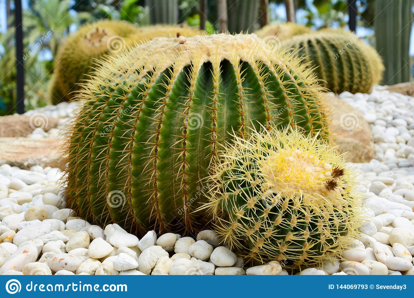 Golden barrel cactus or Echinocactus grusonii Hildm, this is the desert tree which were many thorns , its body look like the green