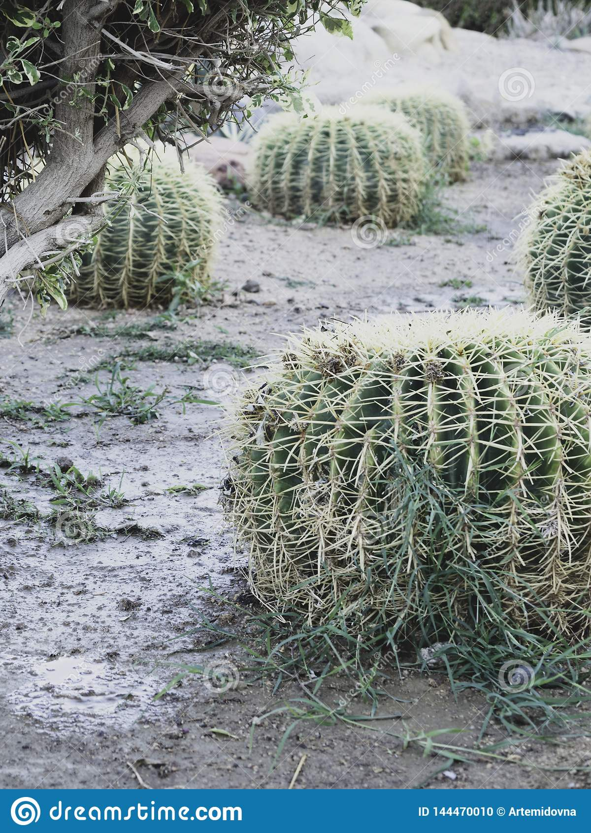 Golden barrel cactus or Echinocactus grusonii Hildm, outdoor
