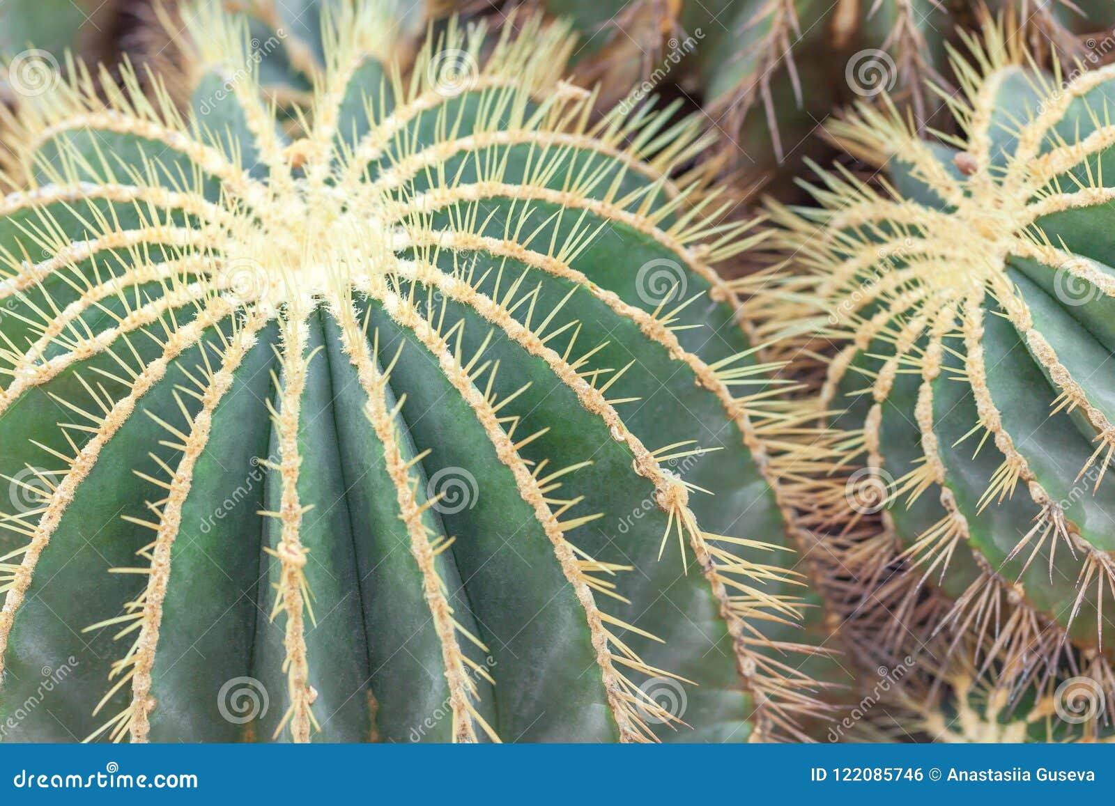 Golden Barrel Cactus, Echinocactus Grusonii Plant, closeup