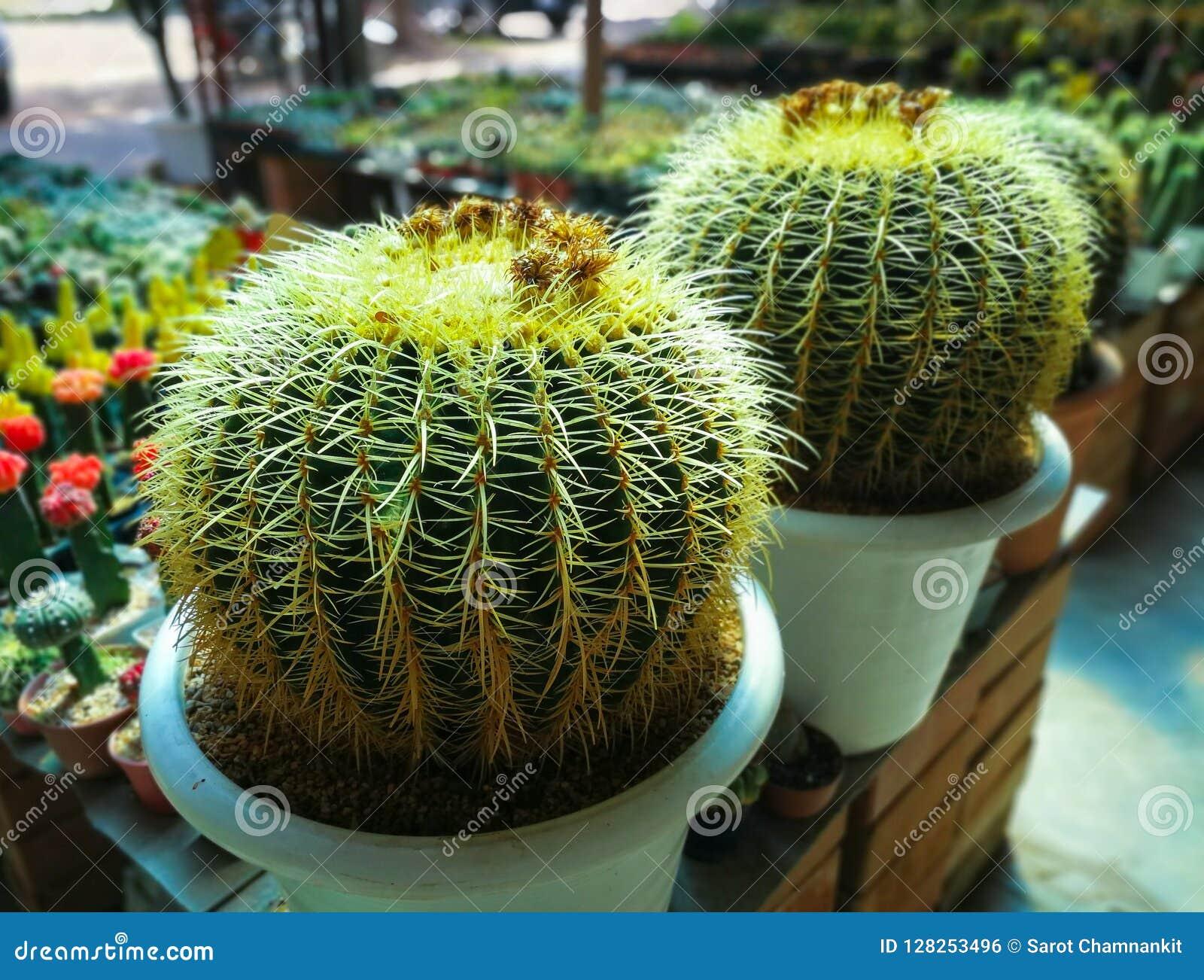 Golden Barrel Cactus.