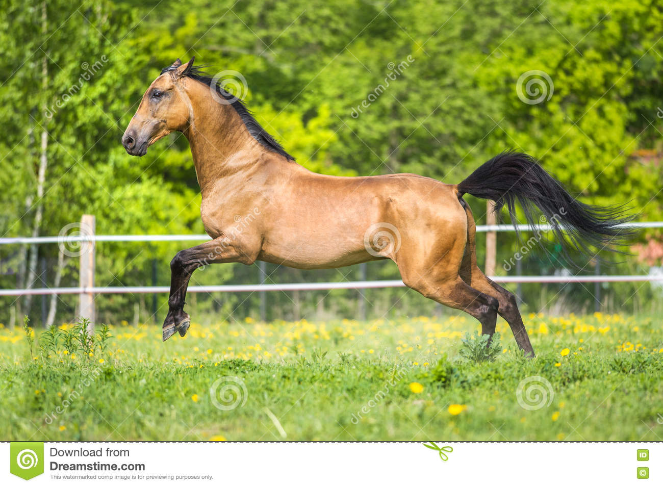 Golden bay Akhal-teke horse playing on the meadow