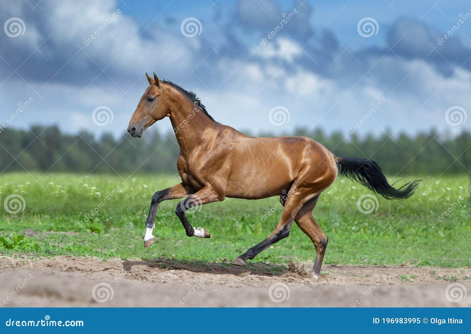 Golden Bay Akhal Teke Horse Running In Desert Stock Image Image Of Gallop Freedom 196983995