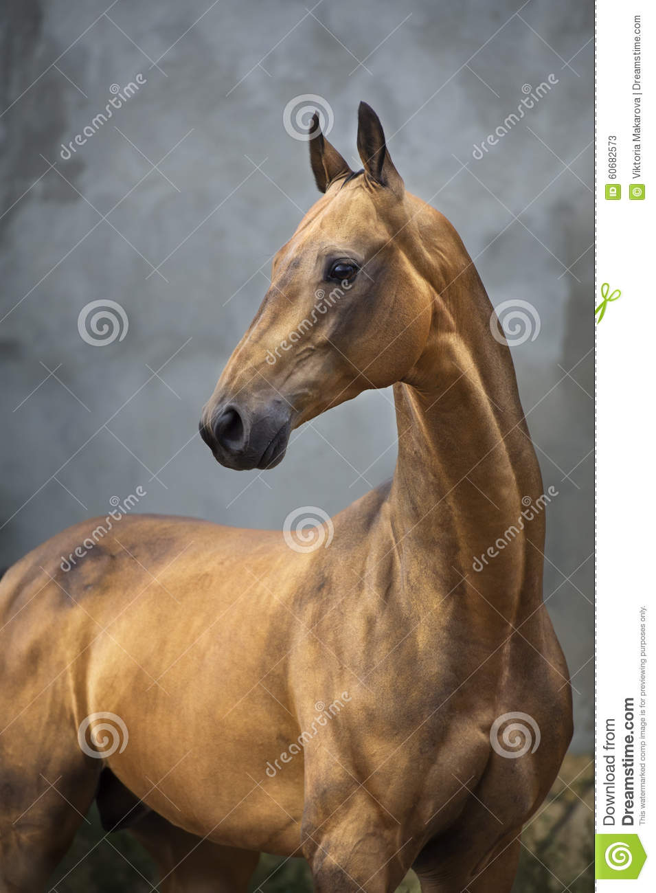 Golden bay akhal-teke horse stallion on the grey wall background