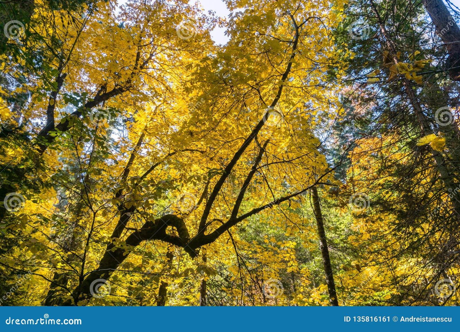 Golden Big Leaf Maple Tree Acer Macrophyllum Foliage Calaveras Big