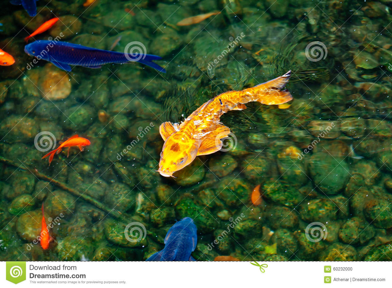 Golden and blue and red koi fish stock photo image 60232000 for Golden ornamental pond fish crossword