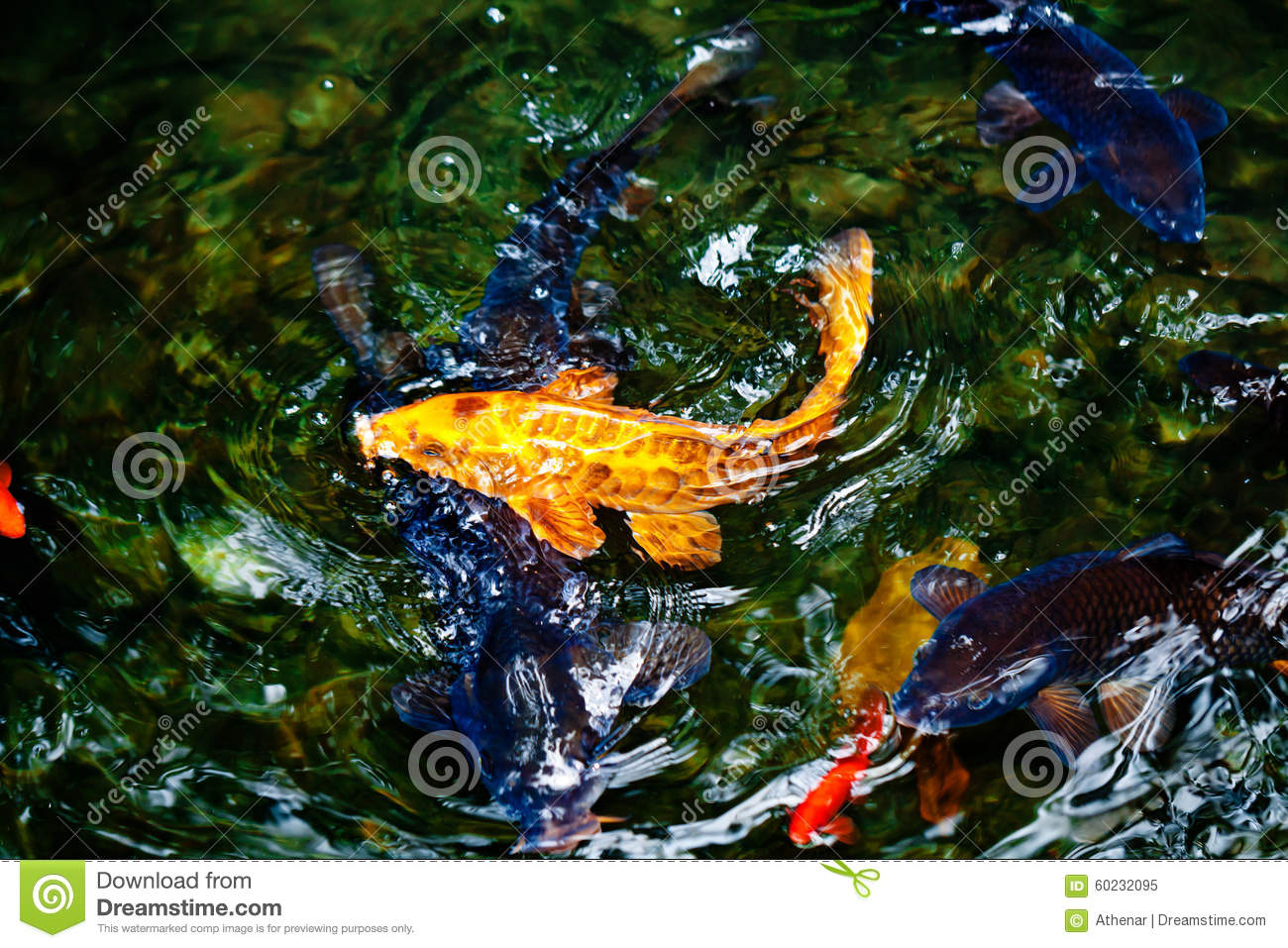 Golden and blue and red koi fish stock photo image 60232095 for Golden ornamental pond fish crossword