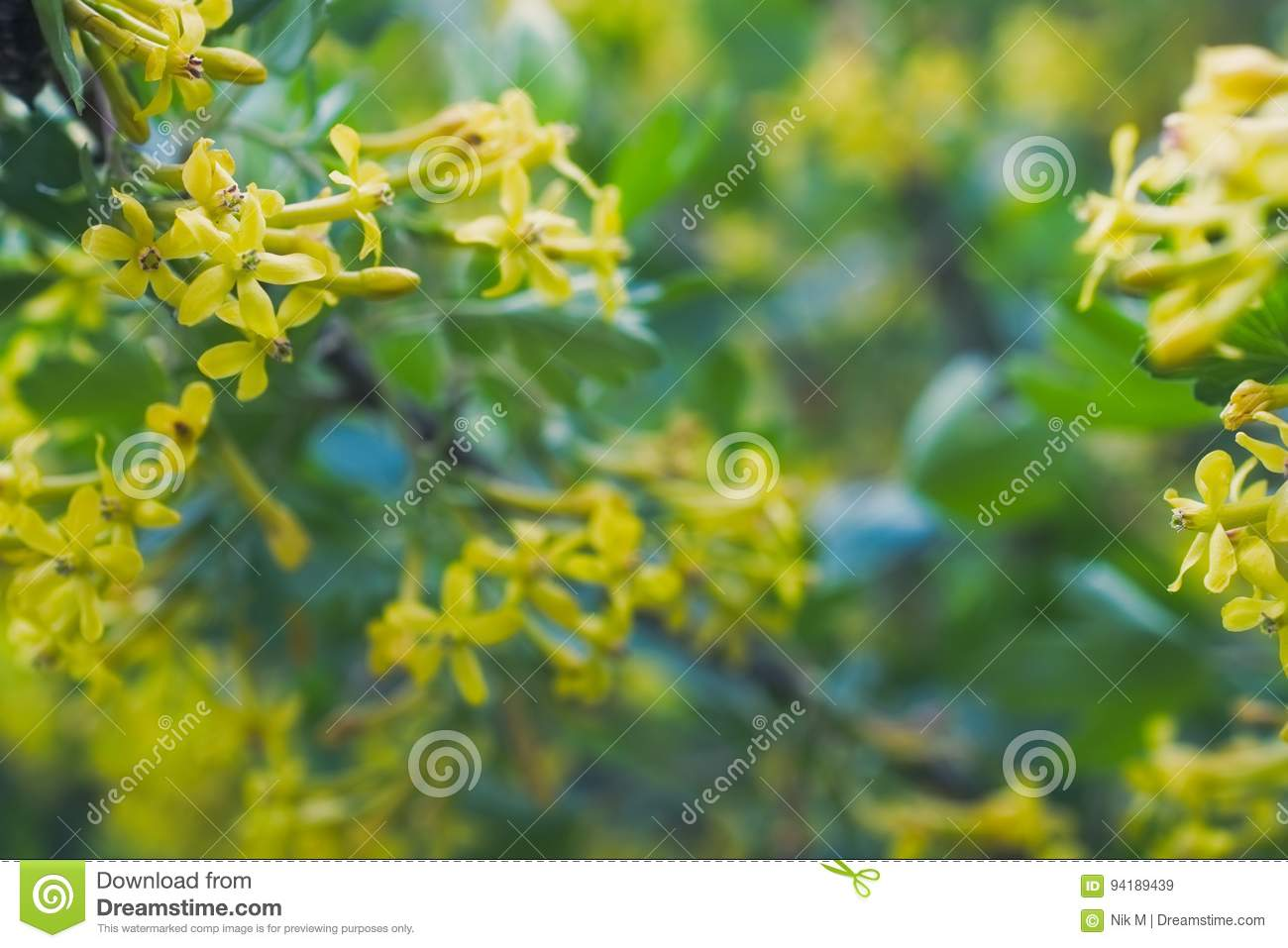 Golden Buffalo Currant Ribes Aureum Stock Image Image Of Healthy