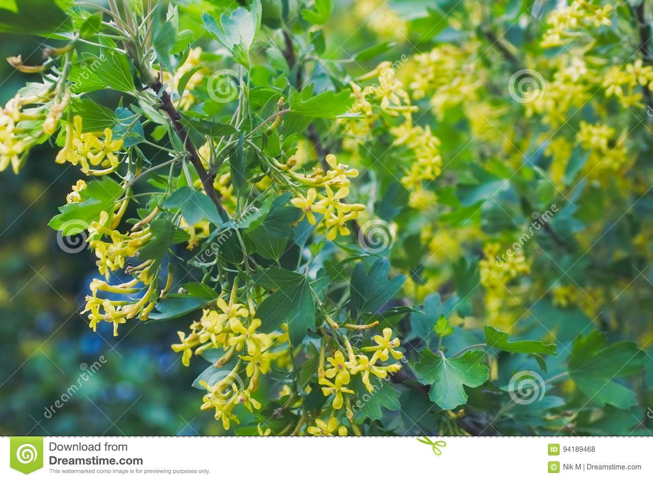 Golden Buffalo Currant Ribes Aureum Stock Photo Image Of Currant