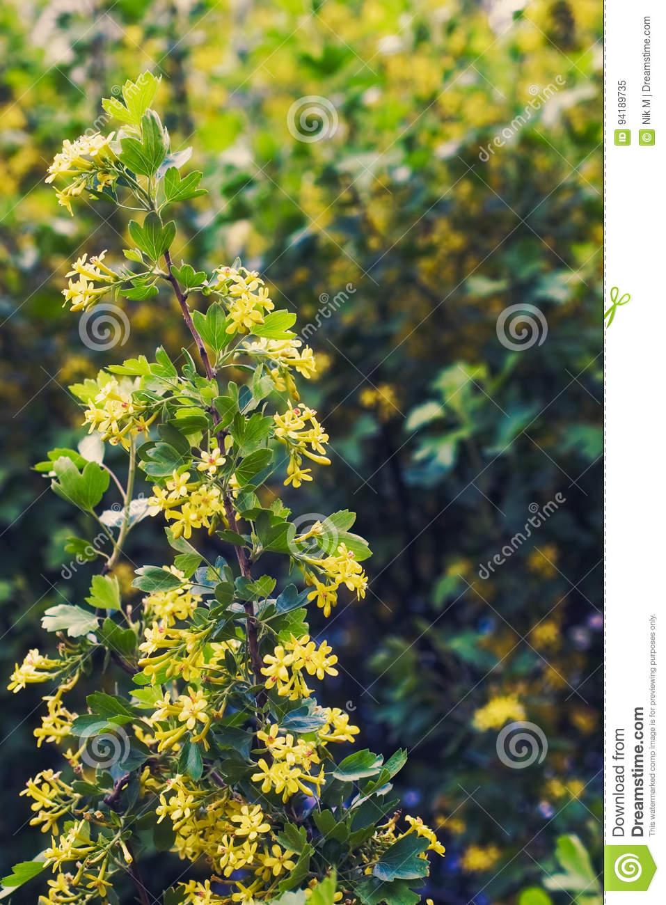 Golden buffalo currant ribes aureum stock image image of download golden buffalo currant ribes aureum stock image image of agriculture aureum 94189735 mightylinksfo