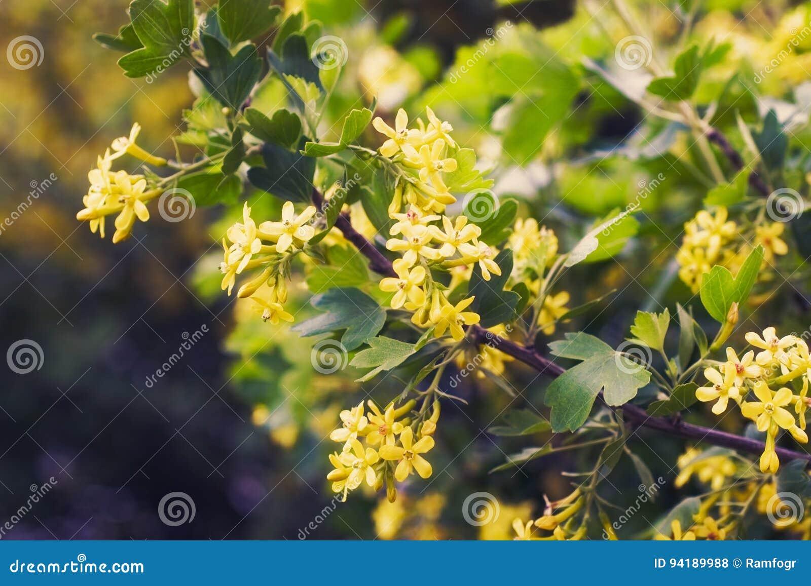 Golden Buffalo Currant Ribes Aureum Stock Photo Image Of Bright