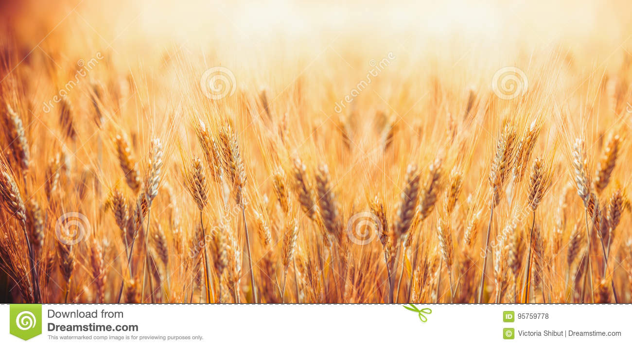 Golden Cereal field with ears of wheat , Agriculture farm and farming concept