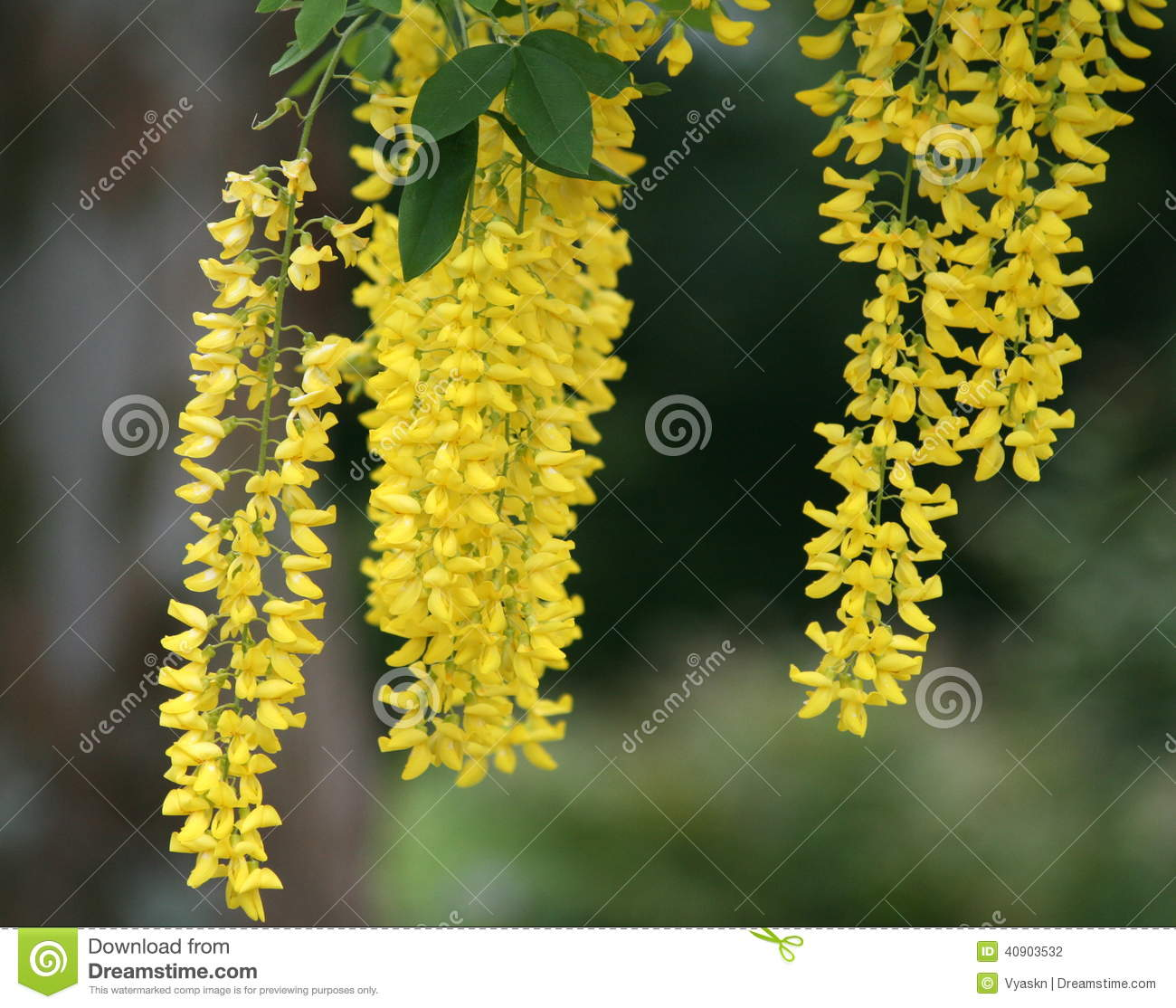 Yellow flowering trees elegant the brilliant yellow tabebuia trees amazing golden chain tree with long hanging yellow flower clusters with yellow flowering trees mightylinksfo Image collections