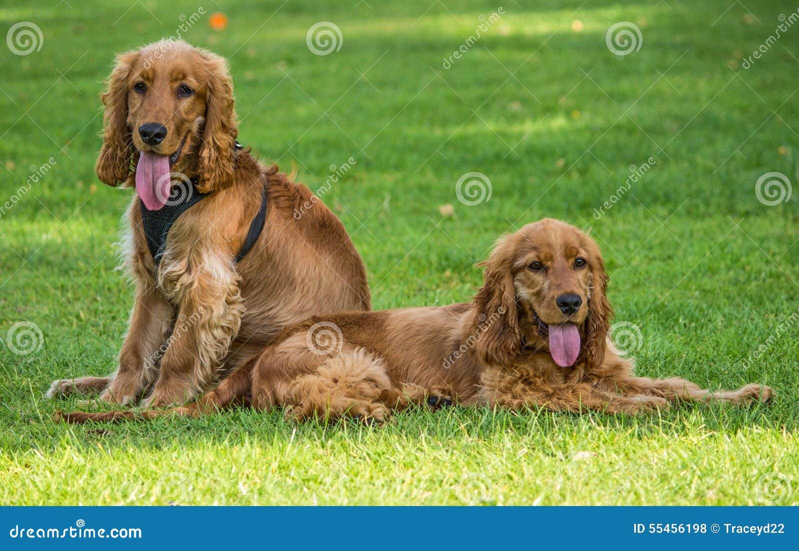 Golden Cocker Spaniel dog breed.