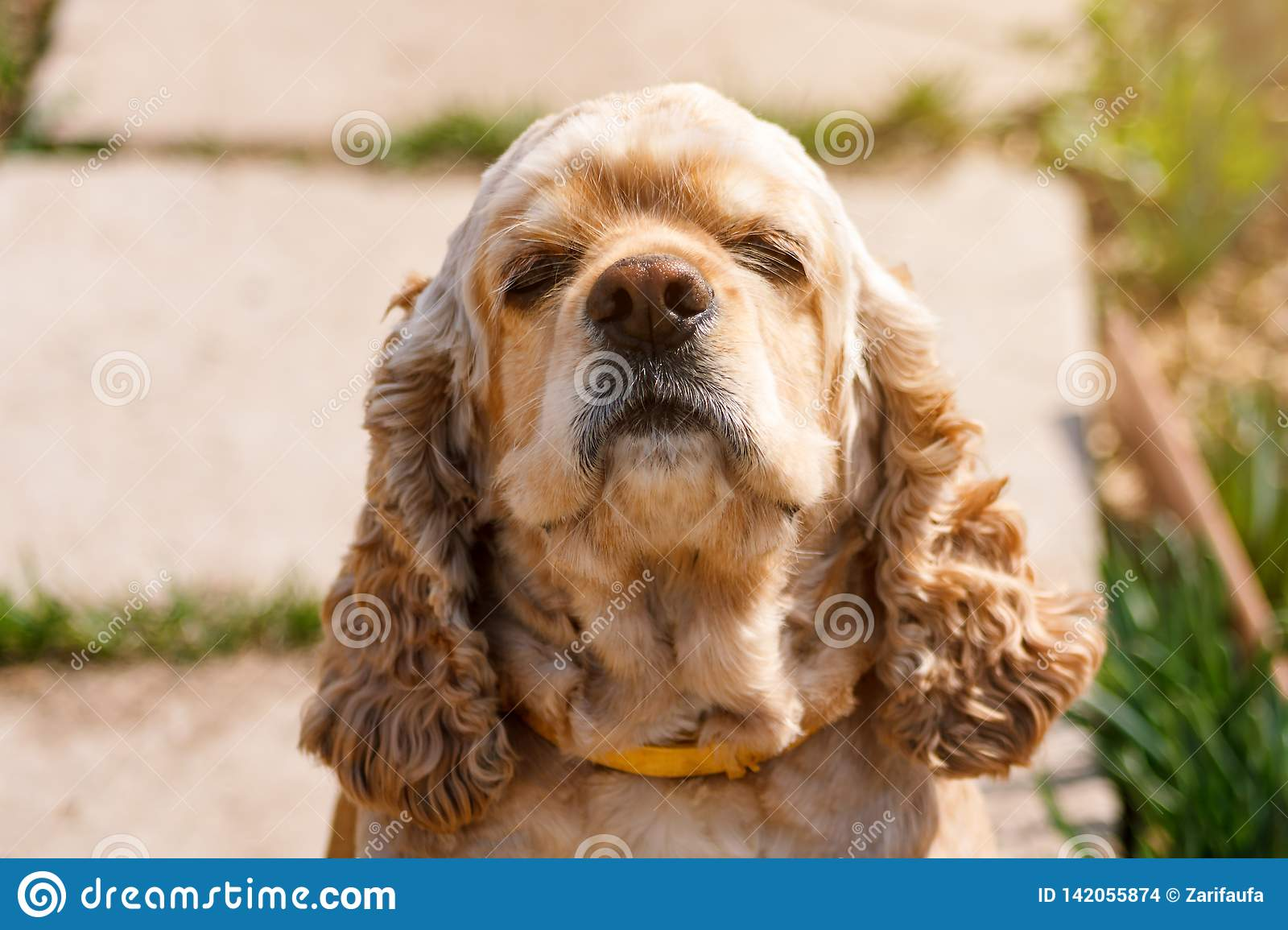 Golden Cocker Spaniel Sniffs The Air In Sunlight Stock Photo Image Of Domestic Cocker 142055874