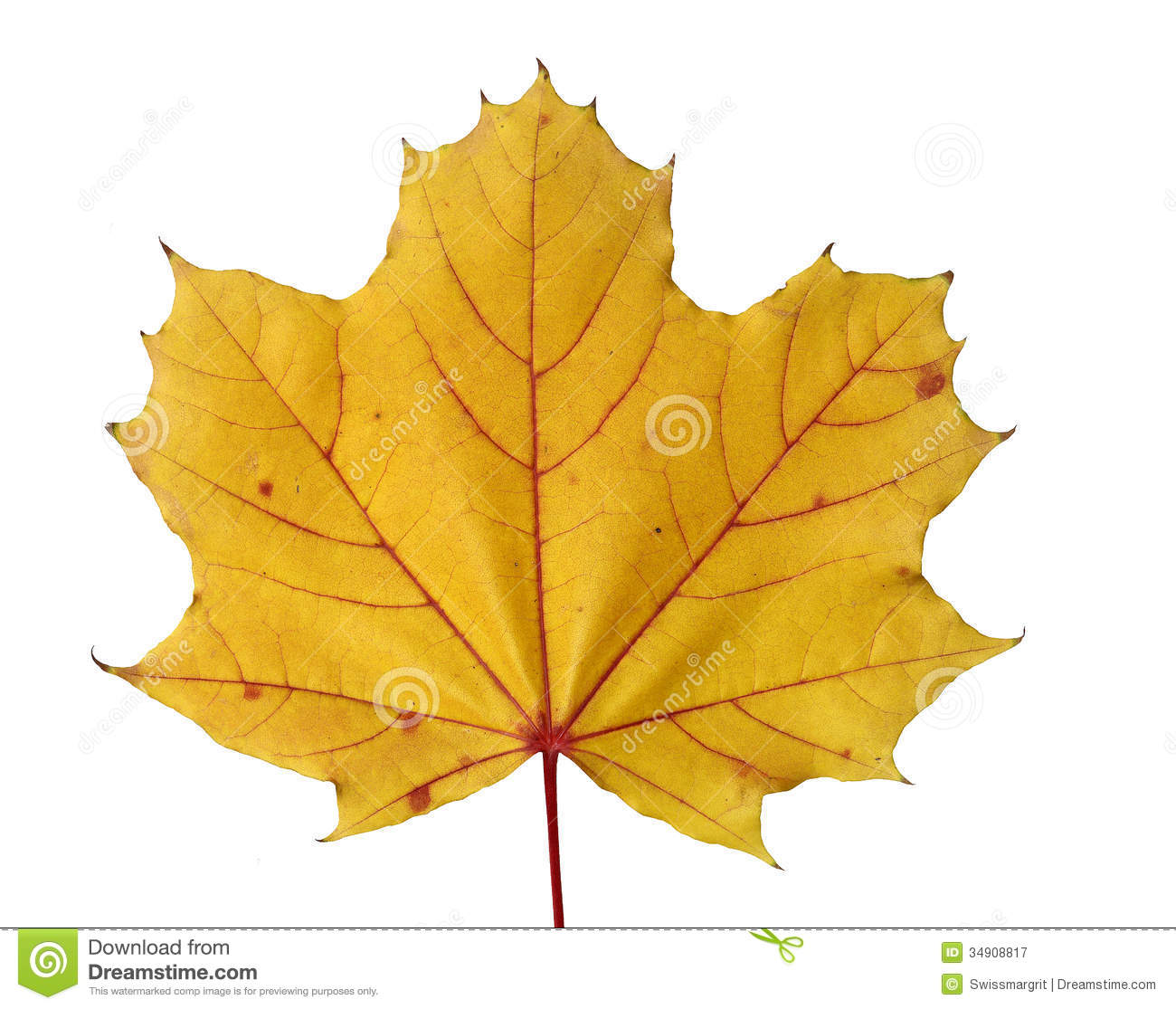 Golden Colored Maple Leaf In Fall Royalty Free Stock