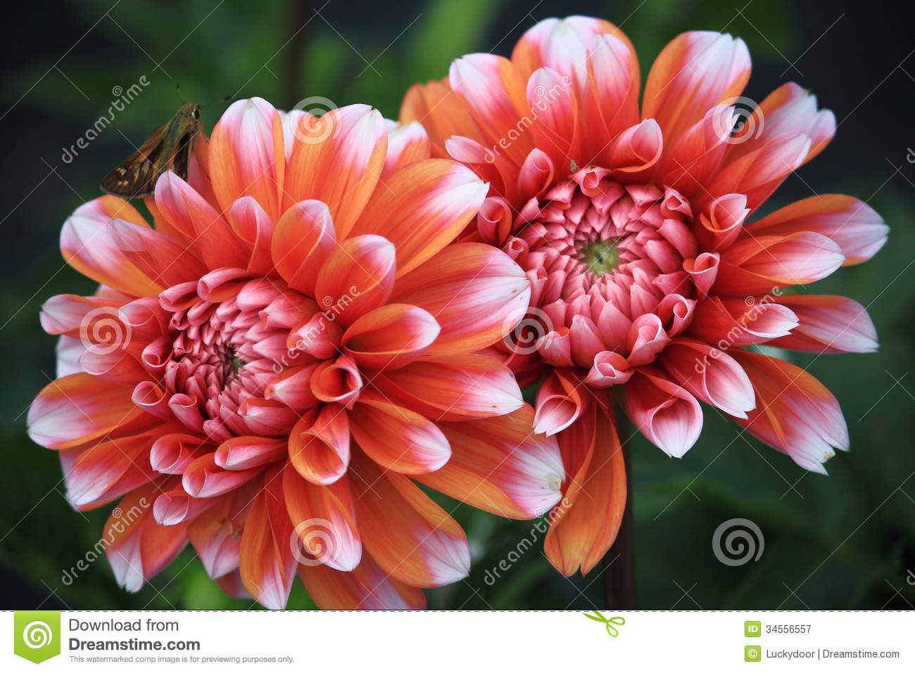 Dahlia Flower Stock Image Image Of Nature Mexican Perennial