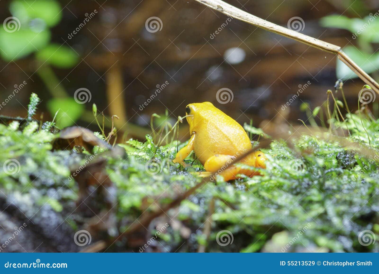 Golden Dart Frog Stock Image Image Of Dart Micro Nature 55213529