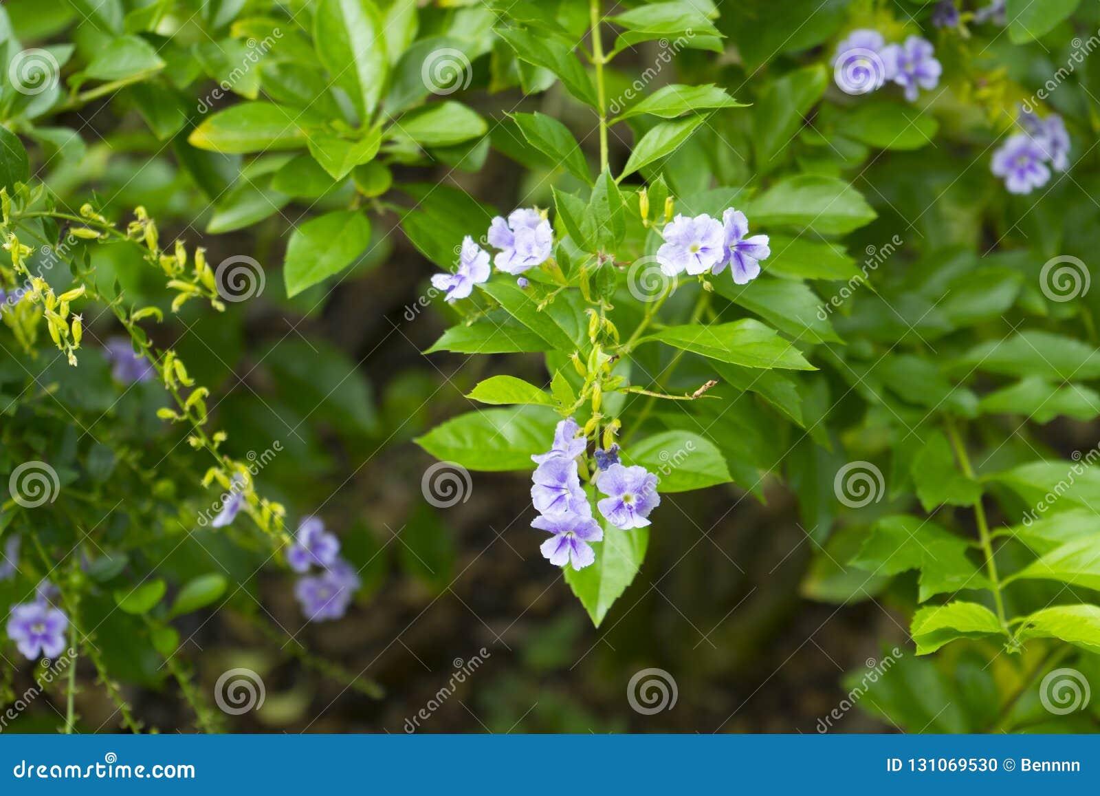 Golden Dew Drop, The flowers are light-blue or lavender color.