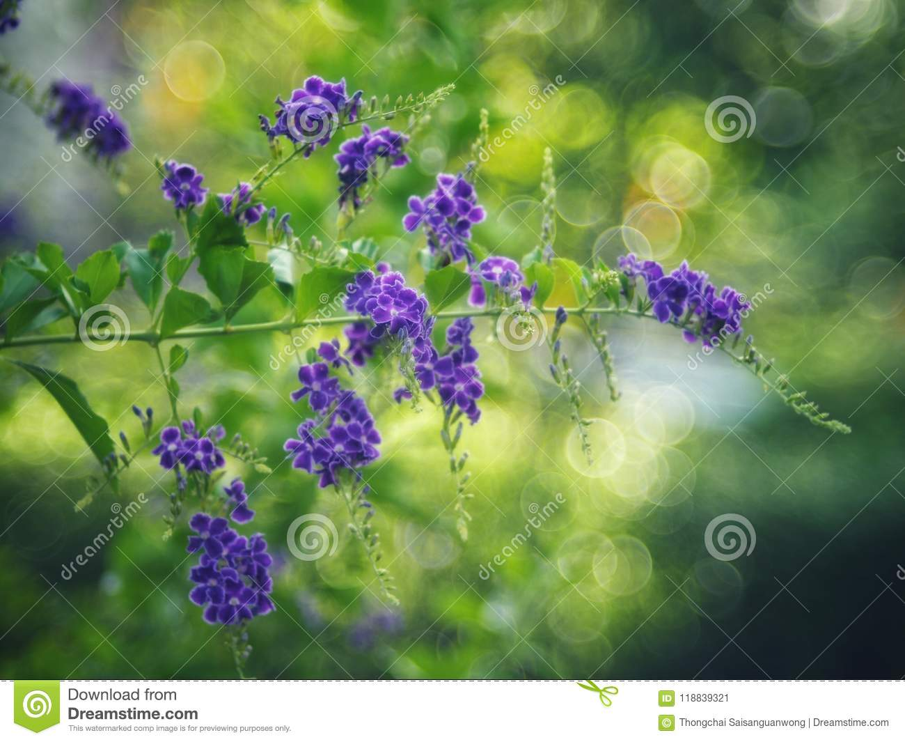 Golden Dewdrop, Crepping Sky Flower, Pigeon Berry. By Thai people called candle drops. It is a purple flower.