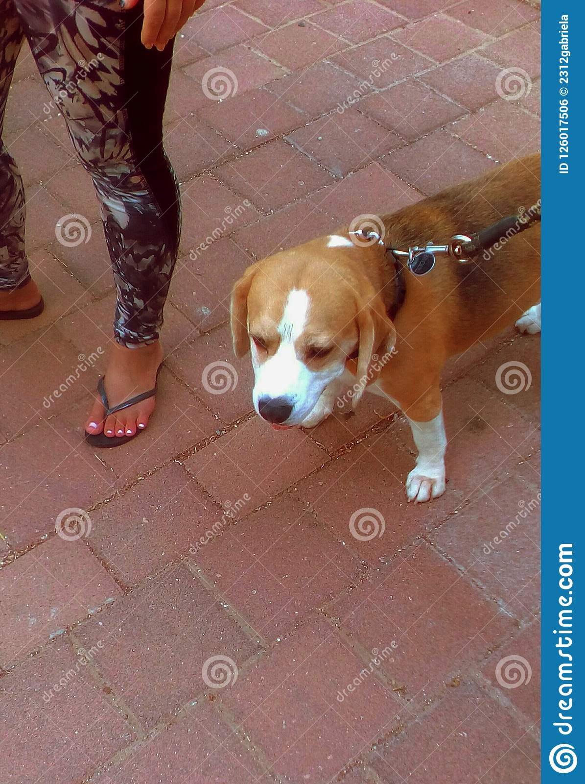 Beagle dog in street