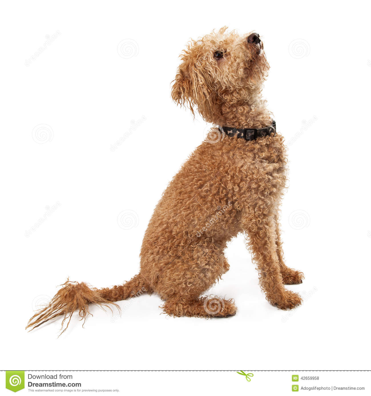 golden doodle dog side view looking up stock photo image 42659958. Black Bedroom Furniture Sets. Home Design Ideas