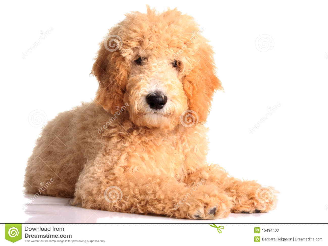 Golden Doodle Puppy Stock Photos Image 15494403