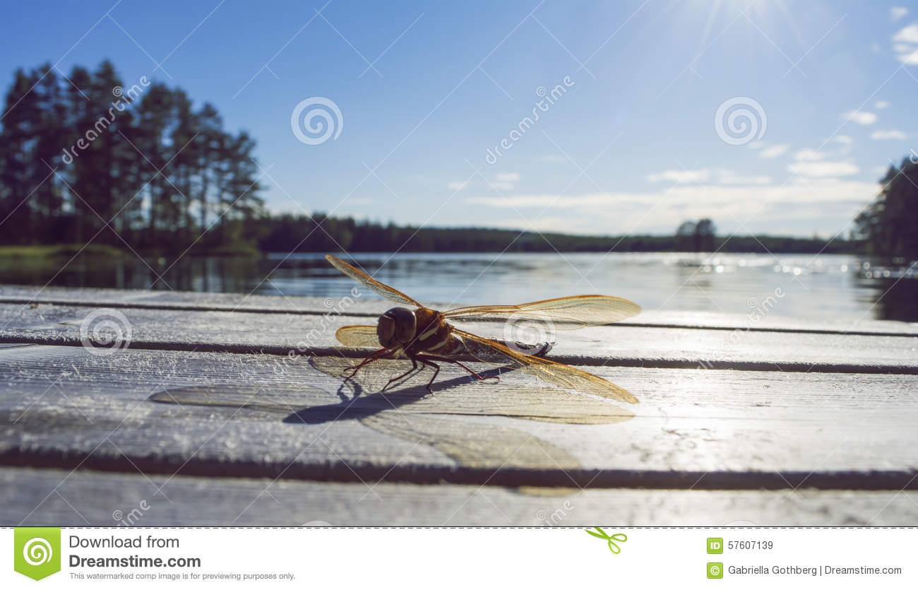Golden dragonfly sitting on a jetty, lake in background.